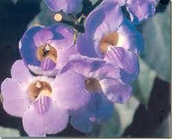 Grandiflora Saint Germain
